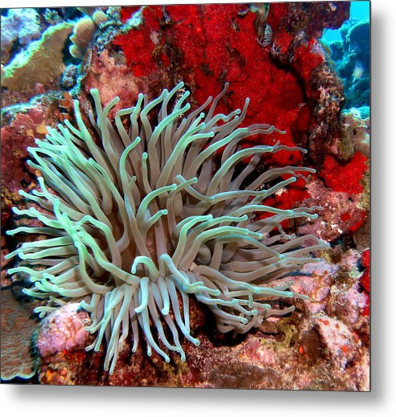 Giant Green Sea Anemone Against Red Coral Metal Print