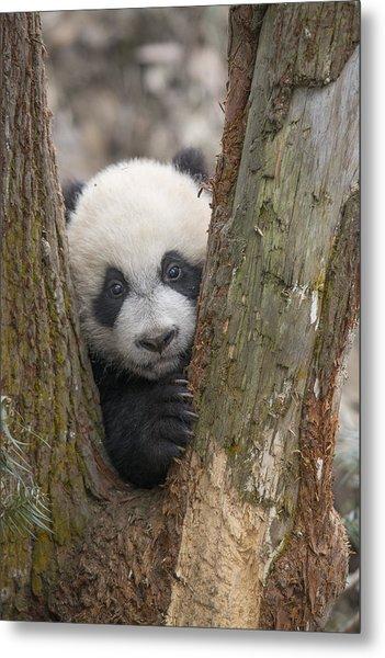Giant Panda Cub Bifengxia Panda Base Metal Print