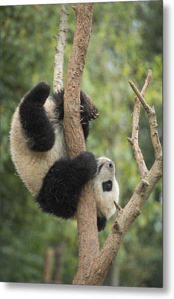 Giant Panda Cub In Tree Chengdu Sichuan Metal Print