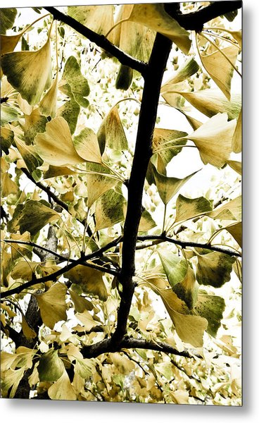 Ginkgo Leaves Metal Print by Frank Tschakert