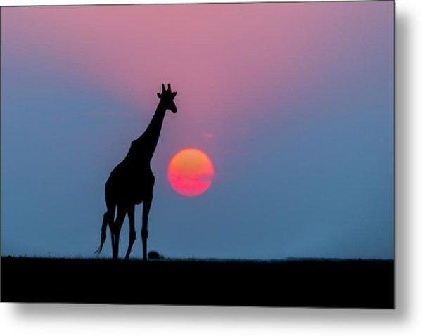 Giraffe At Sunset Chobe Np Botswana Metal Print