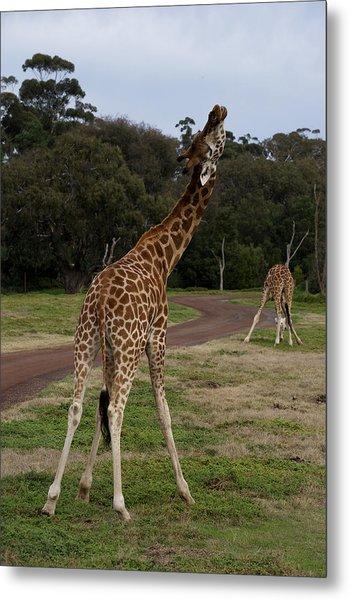 Giraffe Dance Metal Print by Graham Palmer