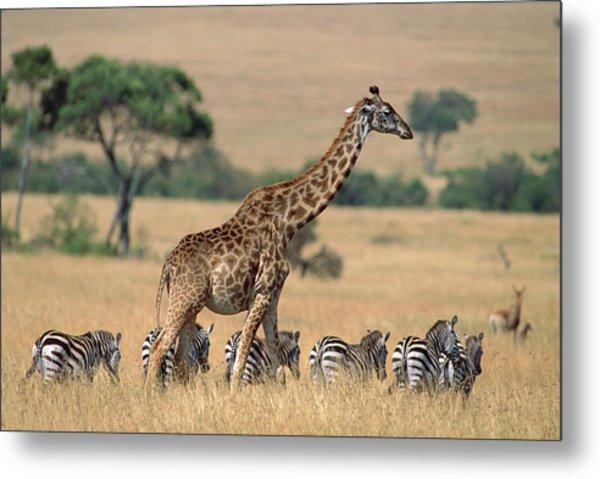 Giraffe Giraffa Camelopardalis Metal Print