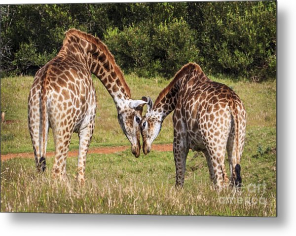 Giraffe Love Metal Print