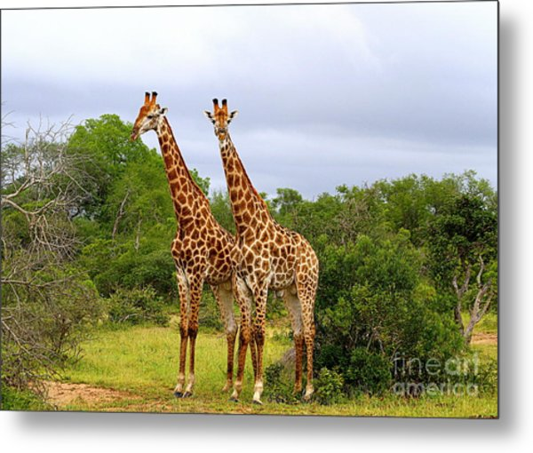 Giraffe Males Before The Storm Metal Print