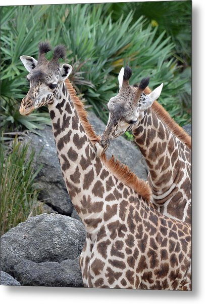 Giraffe Massage Metal Print