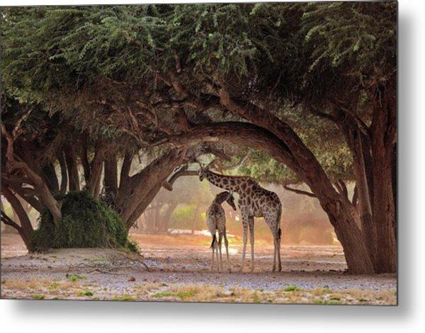 Giraffe - Namibia Metal Print by Giuseppe D\\\'amico