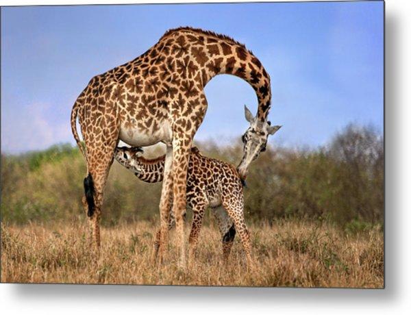 Giraffe With Cup Metal Print