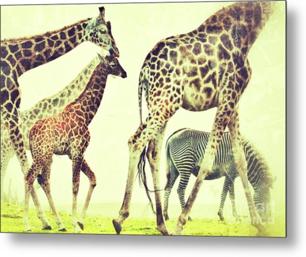 Giraffes And A Zebra In The Mist Metal Print