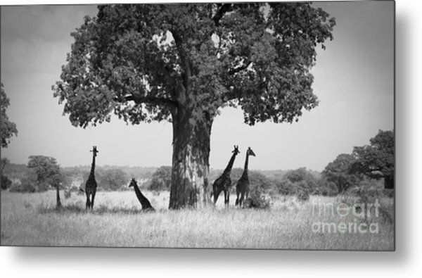 Giraffes And Baobab Tree Metal Print by Chris Scroggins