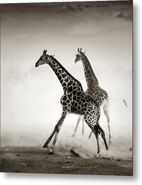 Giraffes Fleeing Metal Print