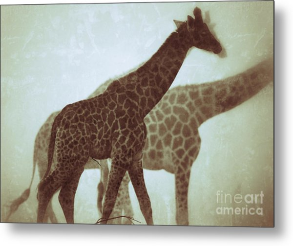 Giraffes In The Mist Metal Print