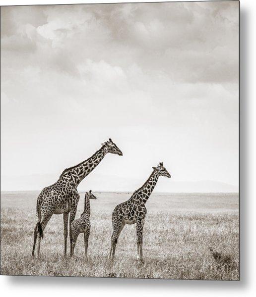 Giraffes Masai Mara Kenya Metal Print