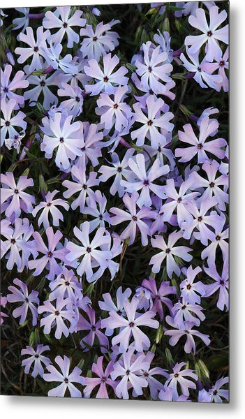 Metal Print featuring the photograph Glade Phlox by Daniel Reed
