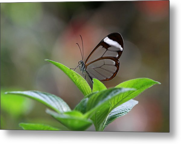 Glasswing Butterfly Metal Print by Juergen Roth