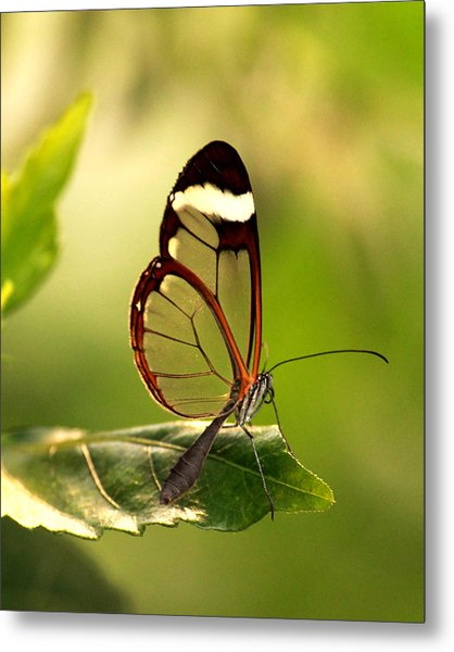 Glasswinged Butterfly Photograph By Karen Morang
