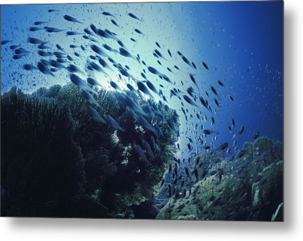 Glassy Sweepers Schooling On Coral Reef Metal Print