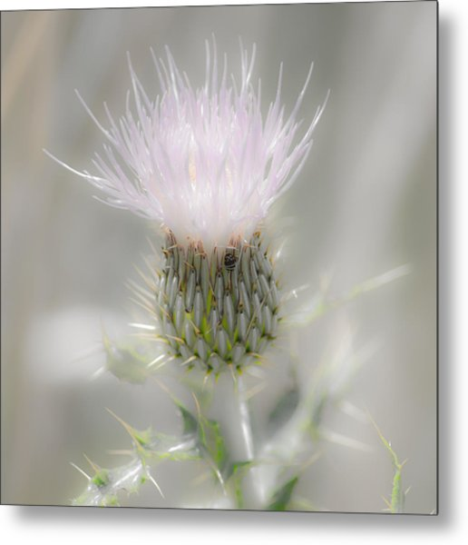 Glimmering Thistle Metal Print