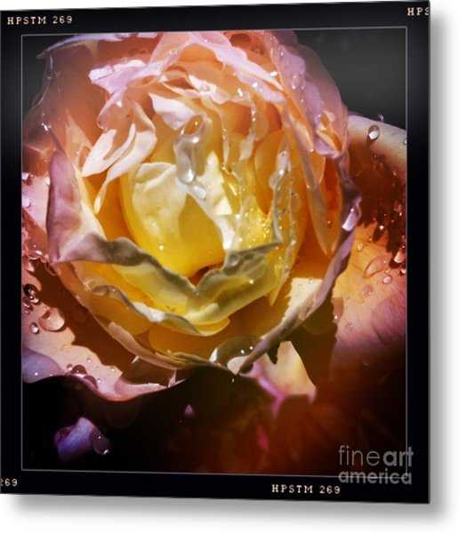Glistening Rose Metal Print