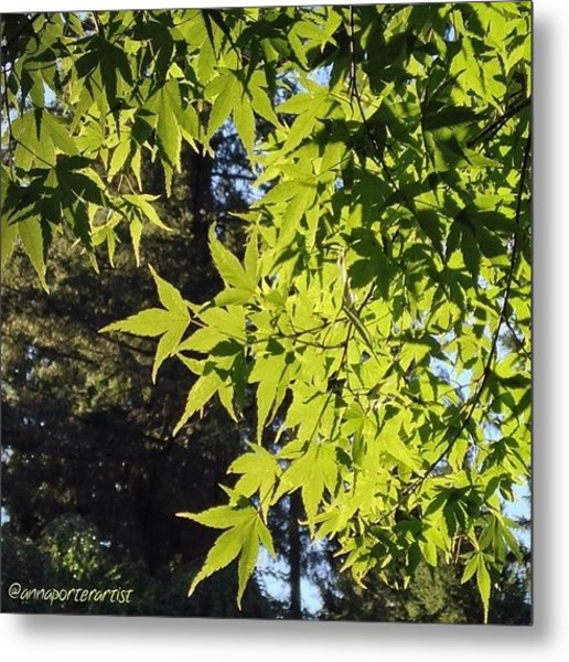 Glowing Greens My Favorite Maple Tree Metal Print