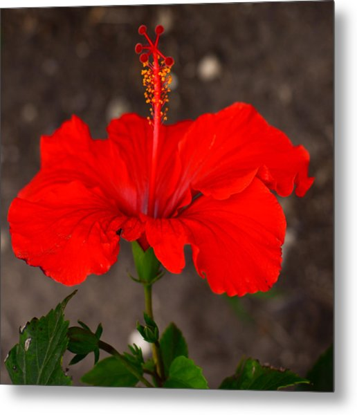 Glowing Red Hibiscus Metal Print