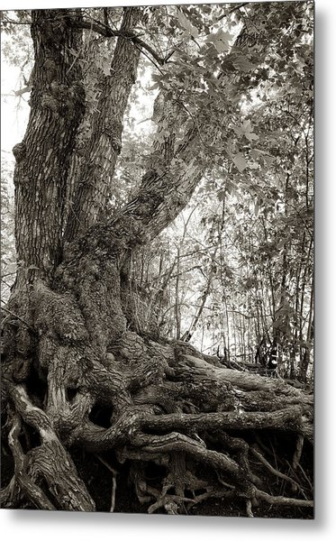Metal Print featuring the photograph Gnarled Tree by Mary Lee Dereske