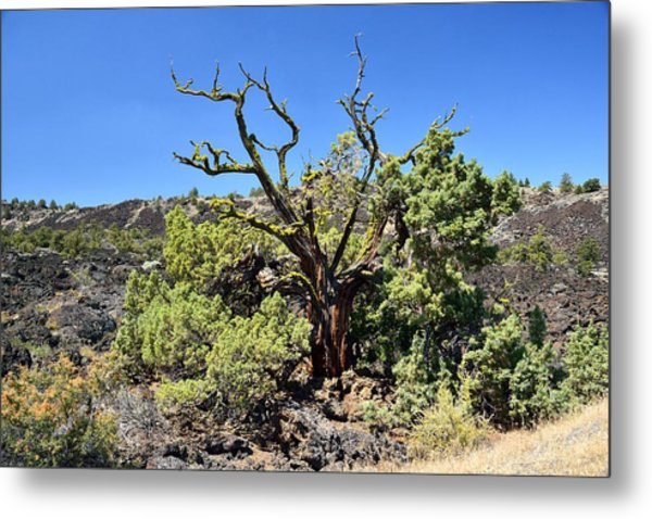 Gnarled Tree On The Lava Beds Metal Print by Rich Rauenzahn