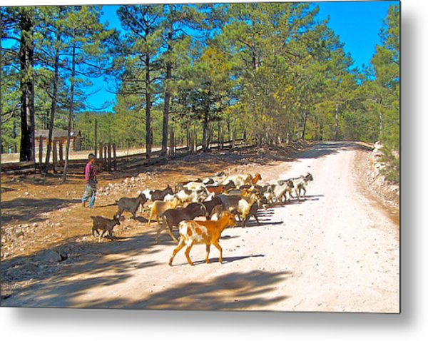 Goats Cross The Road With Tarahumara Boy As Goatherd-chihuahua Metal Print