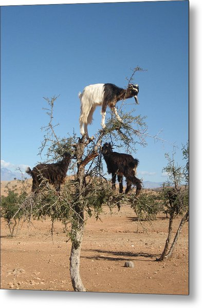 Goats In A Tree Metal Print
