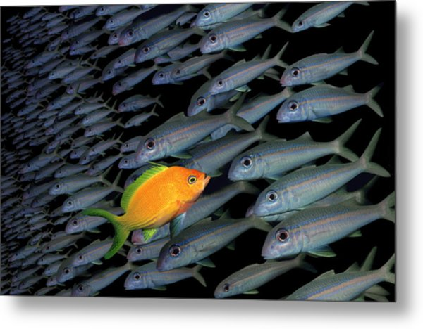 Gold Fish Swimming Opposite Direction To Grey Shoal Metal Print by Steve Bloom