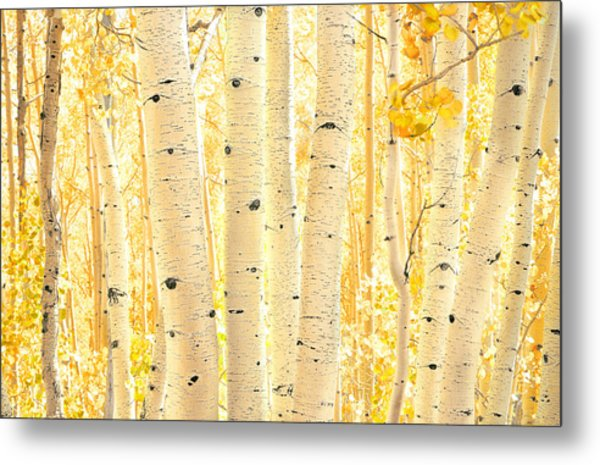 Golden Aspens Utah Metal Print