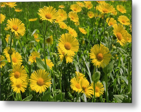 Golden Asters Metal Print