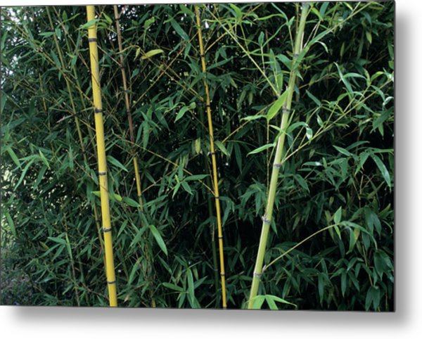 Golden Bamboo (phllostachys Aurea) Metal Print by Sally Mccrae Kuyper/science Photo Library