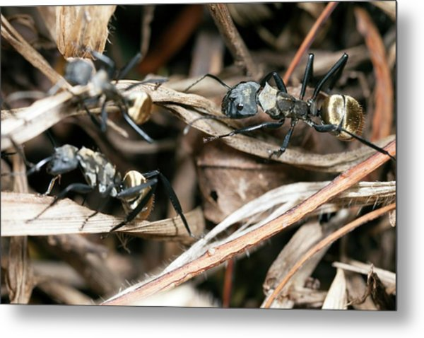 Golden Carpenter Ants Metal Print