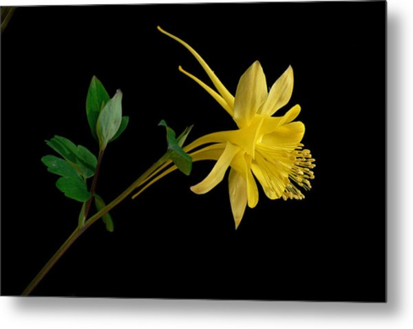 Golden Columbine Metal Print