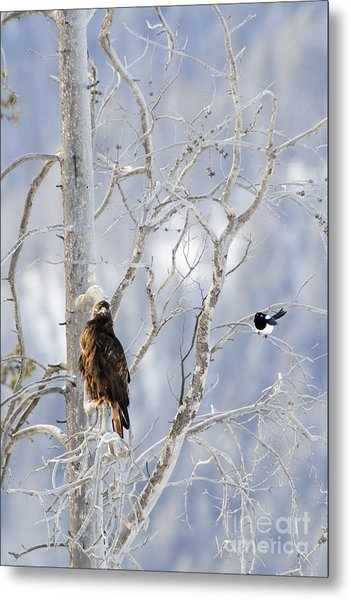 Golden Eagle And The Magpie Metal Print