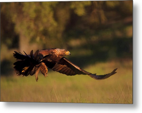 Golden Eagle On The Hunt Metal Print