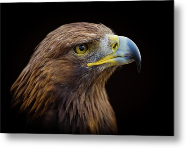 Golden Eagle Metal Print by Peter Orr Photography