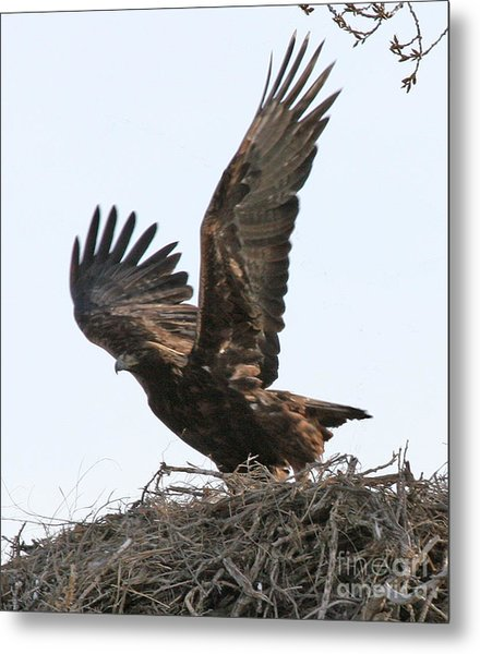 Golden Eagle Takes Off Metal Print