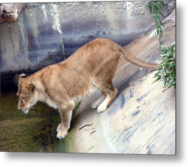 Golden Fur Lioness Metal Print