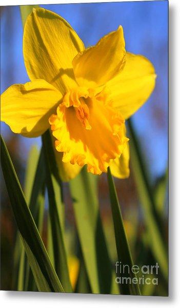 Golden Glory Daffodil Metal Print