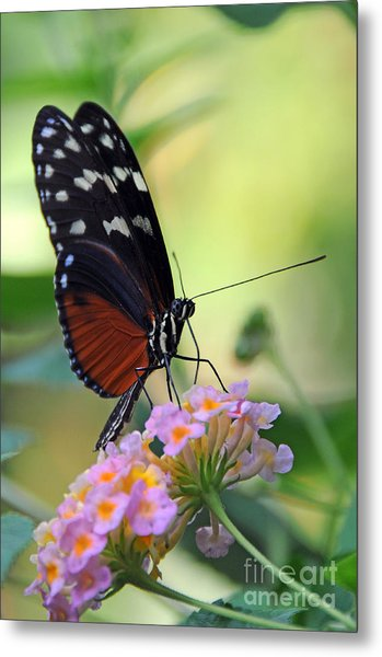 Golden Helicon Butterfly - Say What Metal Print