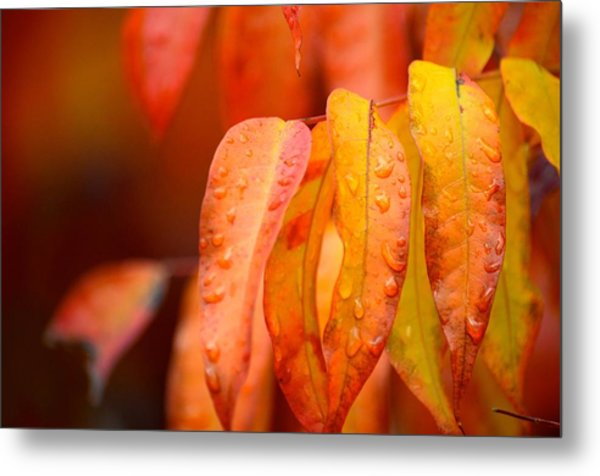 Golden Leaves In The Rain At Stanford Metal Print