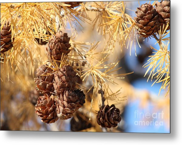 Golden Needles Metal Print