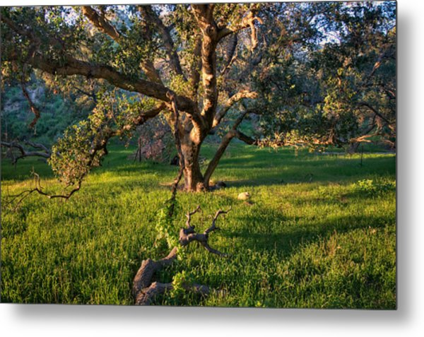 Golden Oak Metal Print