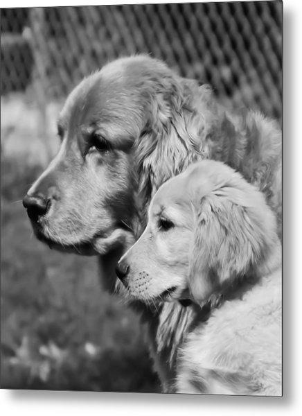 Golden Retrivers  Metal Print by Paulina Szajek