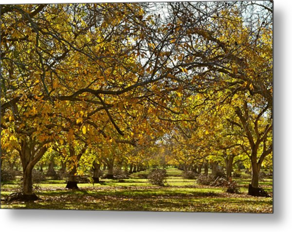 Golden Walnut Orchard Metal Print