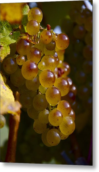 Golden Wine Grapes Metal Print