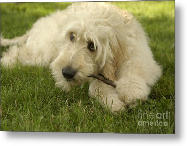 Goldendoodle Pup With Stick Metal Print