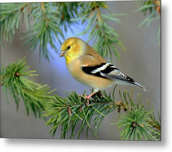 Goldfinch In A Fir Tree Metal Print